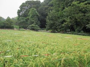 『大沢の里水車経営農家』で精米・製粉作業を公開します!