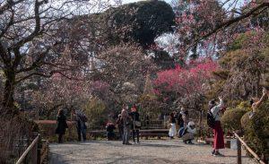 2020京王百草園「梅まつり」