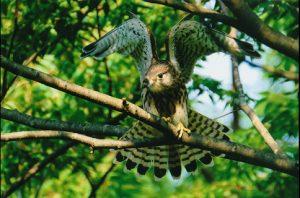 日野の中学生、藍沙さんの写真展「東京の野鳥たち」
