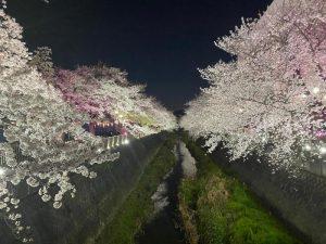 第11回 三沢川 桜・梨の花まつり 桜ライトアップ